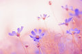 Delicate Cosmos Flowers With Beautiful Toning.Selective Focus Royalty Free Stock Image - 94226726