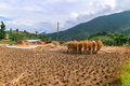 Close Up Image Of A Golden Rice Field In Punakha, Bhutan. Royalty Free Stock Photography - 94227627
