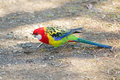 Colorful Eastern Rosella Parrot Bird Foraging For Food On Ground Stock Images - 94233674