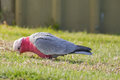 Galah Bird, Rose Breasted Cockatoo, Roseate Bird With Pale Silve Stock Photos - 94238273