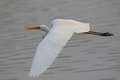 Great Egret Stock Photography - 94256202