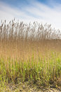 Reed Bed In Devon Royalty Free Stock Photography - 9434957