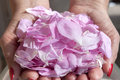 Petals Of Roses In Hands Royalty Free Stock Photography - 94316287