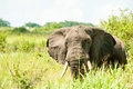 African Elephant Stock Images - 94319574