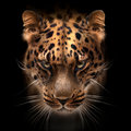 Far Eastern Leopard Face Isolated On Black Stock Photography - 94325382