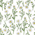 Chamomile Wild Field Flower Isolated On White Background Botanical Hand Drawn Daisy Sketch Vector Doodle Illustration Royalty Free Stock Photo - 94329795
