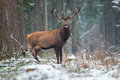 Great Adult Noble Red Deer With Big Beautiful Horns On Snowy Field On Forest Background.  European Wildlife Landscape With Deer Stock Image - 94341691