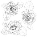 Hand Drawn Rose Stock Images - 94350144