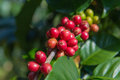 Arabica And Robusta Tree In Coffee Plantation Royalty Free Stock Images - 94355319