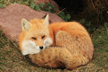 Fox By The Den Stock Photography - 94415032
