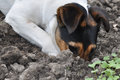 Dog Digging A Hole Royalty Free Stock Images - 94419059