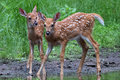 Fawn Pair Stock Images - 94455974