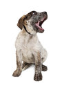 Funny Cattle Dog Puppy Yawning Royalty Free Stock Images - 94463479