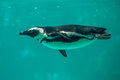 African Penguin Swims In The Water In The Tbilisi Zoo, The World Royalty Free Stock Photos - 94476438