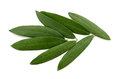 Fresh Olive Leaves Stock Photography - 94478982
