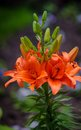 Orange Flowers Royalty Free Stock Photography - 94495517