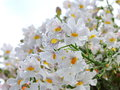 White  Flowers In Morning Dew Royalty Free Stock Photography - 94592317