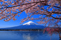 Cherry Blossoms Full Bloom And Mt. Fuji Lake Kawaguchi Japan Royalty Free Stock Photos - 94621498