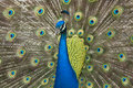 Peacock Royalty Free Stock Photos - 9473488