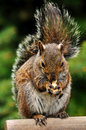 Squirrel In The Park Royalty Free Stock Photography - 9477017