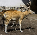 Pere David`s Deer 1 Stock Photography - 9477162