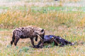 Spotted Hyena In Savanna With Prey. Masai Mara Stock Images - 94740694