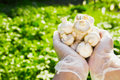 Close-up Of A Farmer`s Hand In Rubber Transparent Gloves Hold Mushrooms Champignons Stock Photography - 94744592