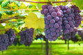 Grape Vines Of Ripe Grape In Vineyard On Sunny Day Royalty Free Stock Photo - 94755185