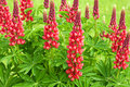 Red Flowers Lupines Flowering On A Flowerbed In A Garden. Stock Image - 94883471