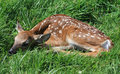 Fawn Royalty Free Stock Photography - 9491097