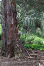 Sequoia Tree Stock Images - 9497284