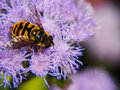 Bumblebee Royalty Free Stock Photography - 94906297