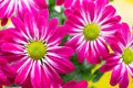Pink Chrysanthemum  On Yellow Backgrounds. Stock Photography - 94920782