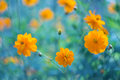 Yellow Flowers On A Blue Background. Yellow Cosmos Flowers On A Beautiful Background. Selective Focus Stock Photo - 94972460