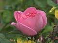 Wet Pink Rose Royalty Free Stock Images - 94979179