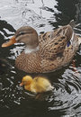 Wild Duck With Chicks Royalty Free Stock Image - 95001466