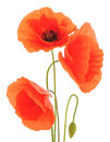 Red Poppies. Royalty Free Stock Photography - 95062997