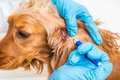 Veterinarian Removing A Tick From The Cocker Spaniel Dog Royalty Free Stock Image - 95073786