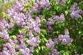 Lilac Tree In Bloom Royalty Free Stock Image - 9512766