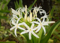 White Spider Lily Flower In Shade Of A Tree Royalty Free Stock Image - 95104066