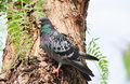 Pigeon  Dove  Standing On A Tree, . Royalty Free Stock Photo - 95143515