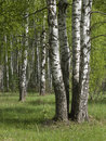 Group Of Birch Trees In Forest Stock Images - 9525154