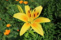 Asiatic Hybrid Lilium `Pollyanna` One Yellow Flower And Buds Stock Image - 95215041