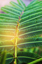 Abstract Soft Blurred And Soft Focus The Surface Texture Of Acacia Pennata, Green Leaves With The Beam Light And Lens Flare Effect Stock Photo - 95330150