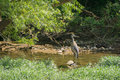 Great Blue Heron Royalty Free Stock Image - 95398846