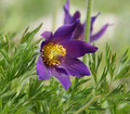 Pasque Flower Royalty Free Stock Image - 9541416