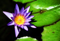 Waterlily Stock Image - 9545151