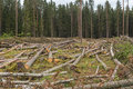 The Area Of Felled Forest. Stock Photo - 95420380