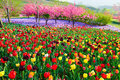 The Tulip Flower Fields Royalty Free Stock Photo - 95488235