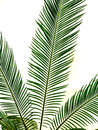 Isolated Green Palm Leaf Royalty Free Stock Image - 95510566